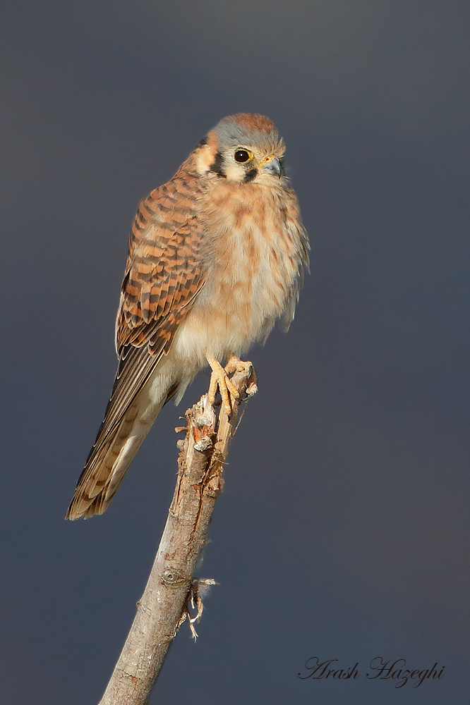 Female American Kestrel. EOS-1D X EF 400mm f/4 DO IS II plus EF Extender 2X III. ISO 1600. f/8 at 1/2500sec. Hand held from truck.