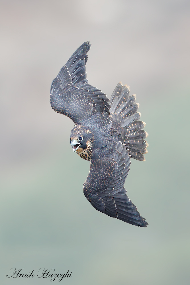 Juvenile peregrine falcon dives. EOS 1D X Mark II. EF 600mm f/4 IS II. ISO 800. F/4 at 1/3200sec. Hand held. Processed with DPP 4.4.
