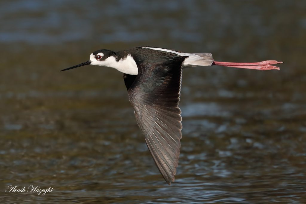 Black-necked stilt. EOS-1D X Mark II, EF 400mm f/4 DO IS II + 2X Extender III. ISO 1250. f/8 at 1/3200sec. Hand held. Click on the image to see the details.