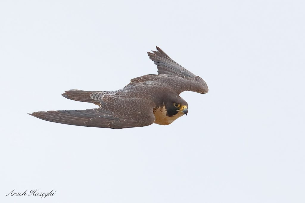 Male peregrine falcon. EOS 1DX Mark II. EF 600mm f/4 IS II + EF extender 1.4X III. ISO 3200 + 0.8EV in post processing. F/5.6 at 1/3200sec. Hand held. Click on the image to see the details.