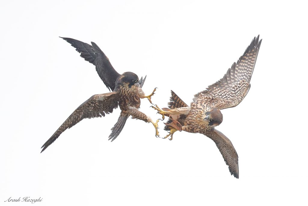 Juvenile peregrine falcons exchanging a leaf in flight. EOS 1DX Mark II, EF 600mm f/4 IS II. ISO 2000, f/4 at 1/3200sec. Hand held. Click on the image to see the details.