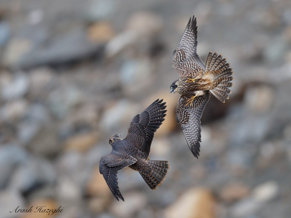 Juvenile peregrine falcons against a rocky beach, a challenge for the AF. EOS 1DX Mark II EF 600mm f/4 IS II. ISO 1000. f/4 at 1/3200sec. Hand held.