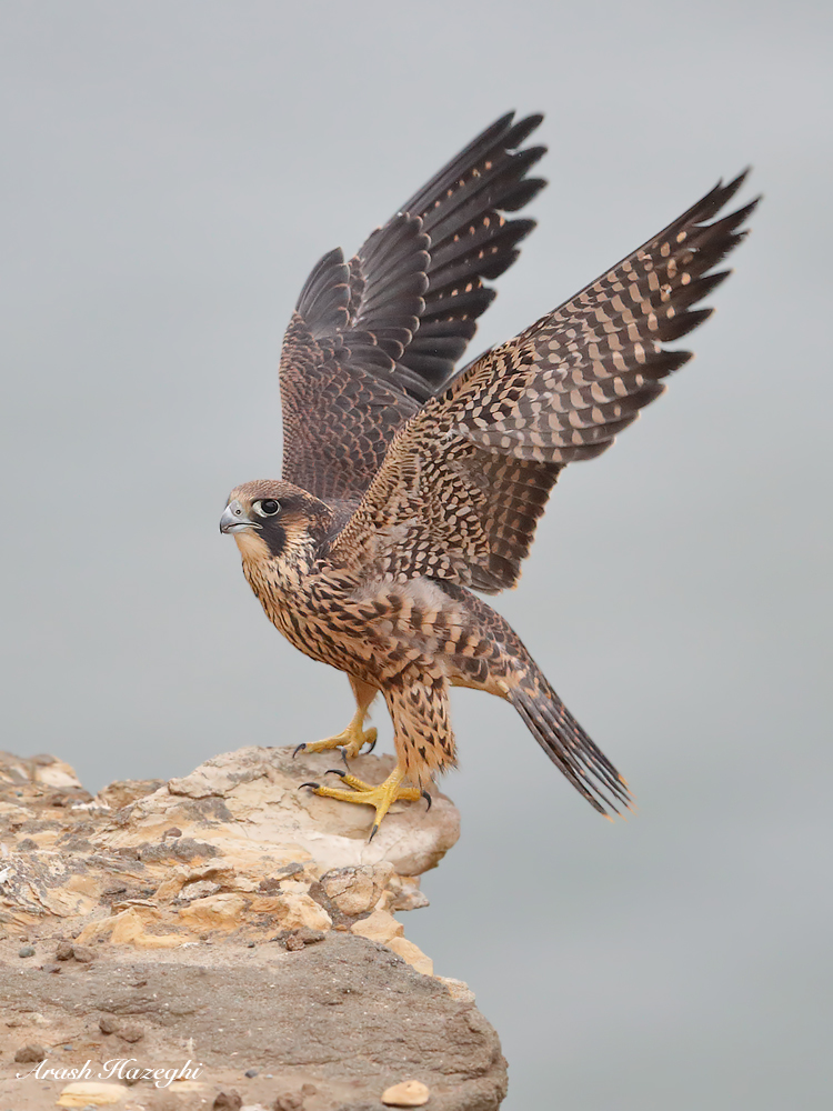 Juvenile falcon. EOS 1DX Mark II. EF 600mm f/4 IS II. ISO 3200. f/4 at 1/2000 sec. Hand held.