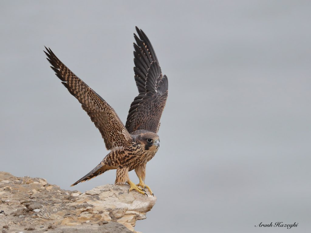 Juvenile peregrine. EOS 1DX Mark II, EF 600mm f/4 IS II + Extender 1.4X III .ISO 3200. F/5.6 at 1/2500sec. Hand held. processed with DPP 4.4