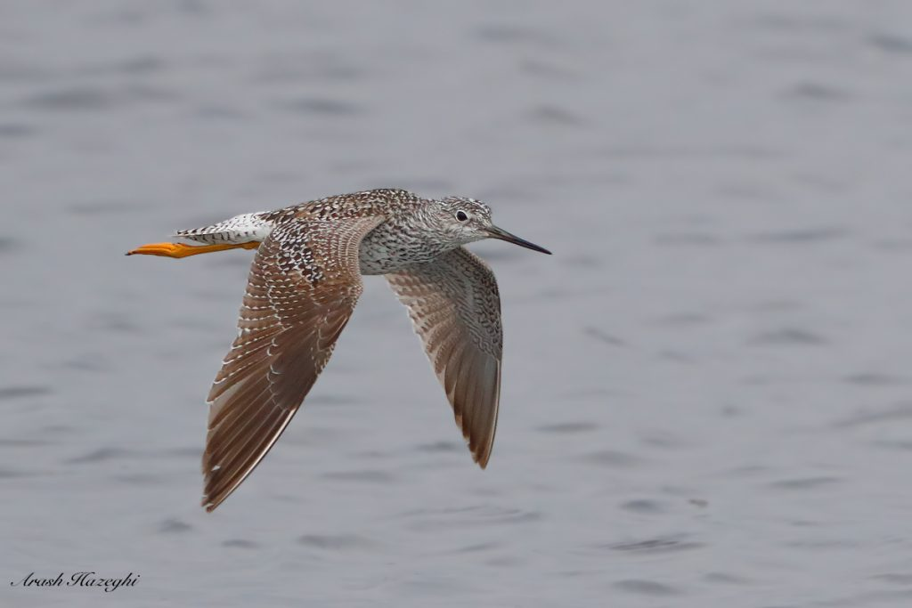 Yellowlegs. EOS 1DX Mark II, EF 400mm f/4 DO IS II + EF Extender 2X III. ISO 3200. F/8 at 1/3200 sec. Hand held. Click on the image to see the details.
