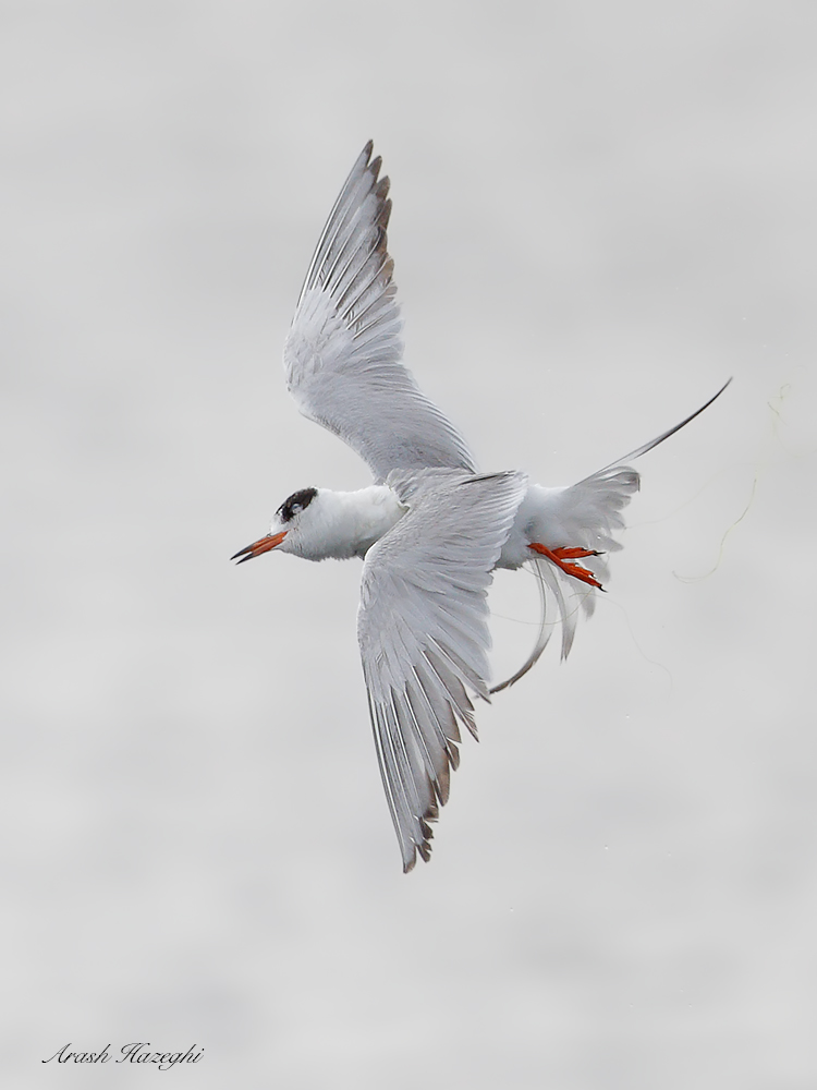 Juvenile Forster's tern in a roll. EOS 1DX Mark II, EF 600mm f/4 IS II. ISO 1000. F/4 at 1/3200sec. Hand held. Click on the image to see the details.