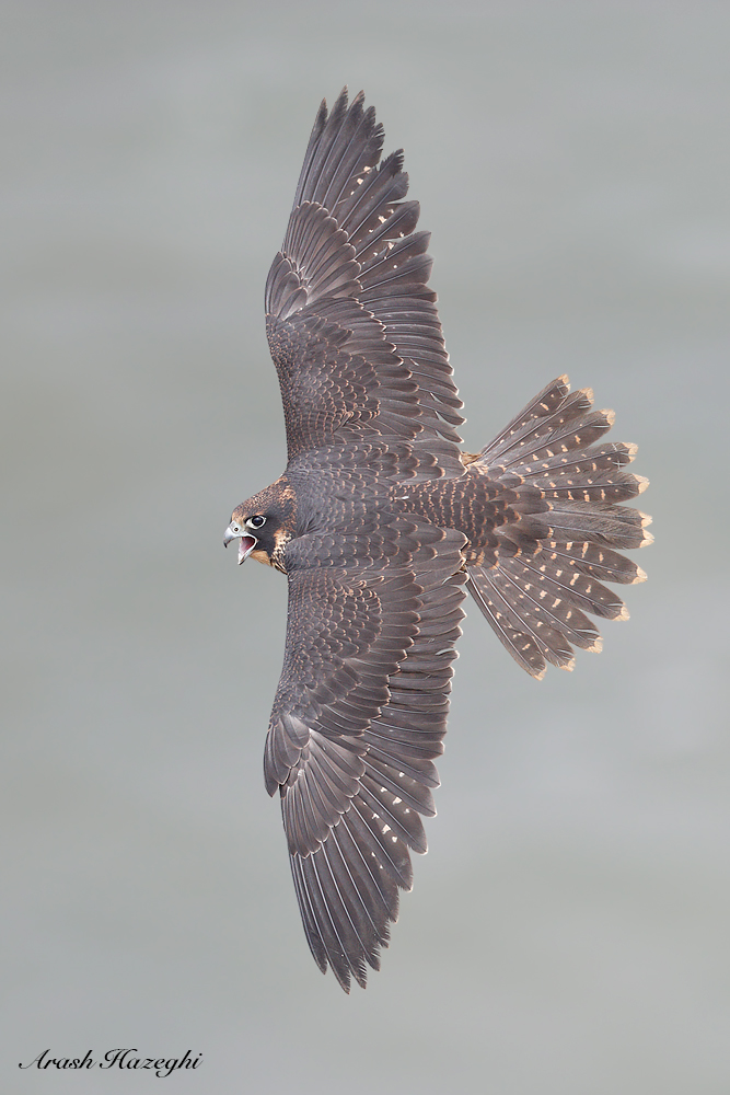 Juvenile falcon topside view. EOS 1DX Mark II. EF 600mm f/4 IS II. ISO 1000. F/4 at 1/3200sec. Hand held.