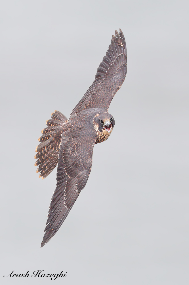 Juvenile peregrine falcon. EOS 1DX Mark II. EF 600mm f/4 IS II. ISO 1000. f/4 at 1/3200sec. Hand held.