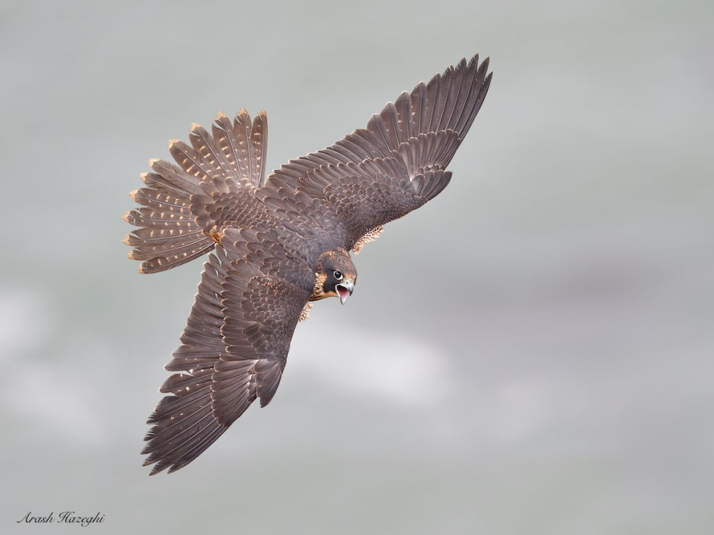 Juvenile peregrine calling in flight. EOS 1D X Mark II. EF 600mm f/4 IS II. ISO 1000. f/4 at 1/3200sec. Hand held.