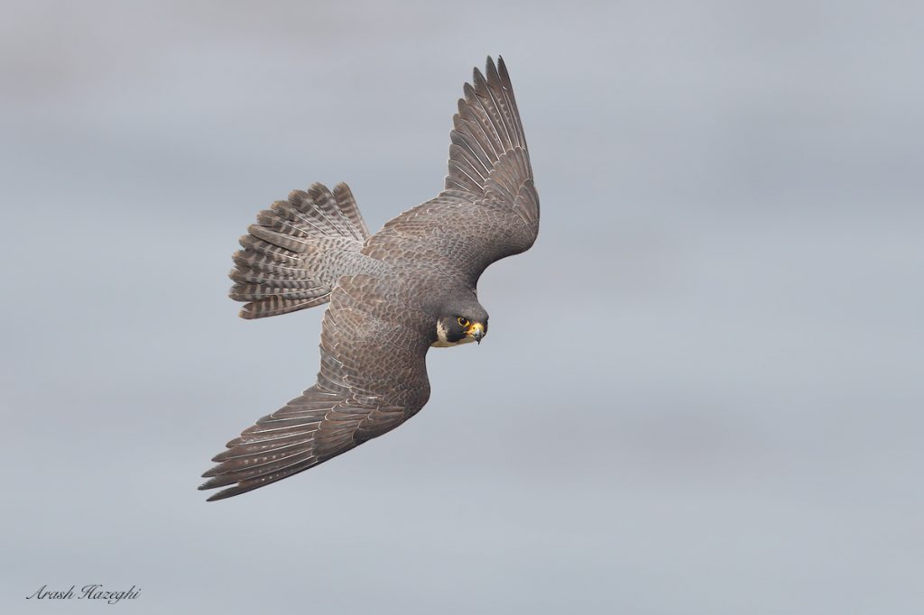 Male peregrine falcon diving. EOS 1DX Mark II, EF 600mm f/4 IS II + EF Extender 1.4X III. ISO 800-. F/5.6 at 1/3200sec. Hand held. Background is the ocean. Click on the image to view the details.