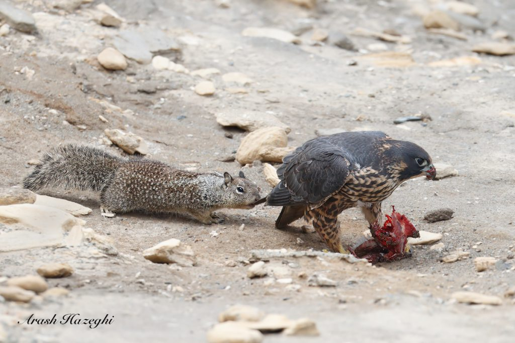 Squirrel vs. Peregrine. EOS 1D X Mark II, EF 600 f/4 IS II + EF extender 1.4X III. ISO 1250. F/5.6 at 1/3200 sec. Hand held.