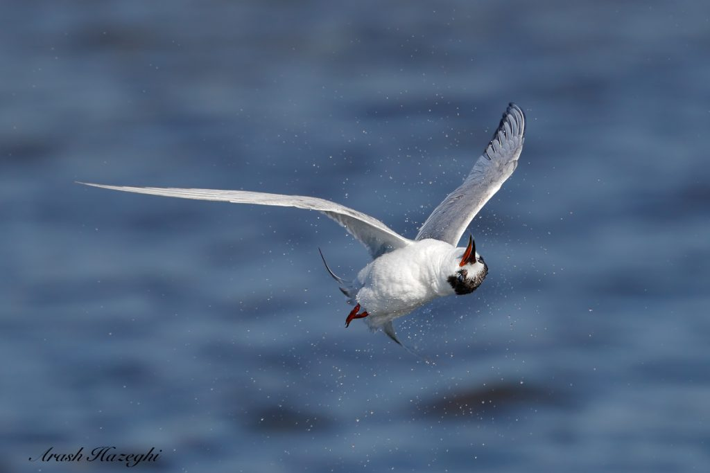 Juvenile Forster's tern. EOS 1DX Mark II, EF 400 f/4 DO IS II + EF Extender 2X III. ISO 1000. F/8 at 1/3200sec. Hand held. Click on the image to see the derails.