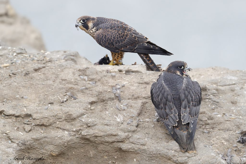 Juvenile falcons with prey (starling). EOS 1DX Mark II, EF 600mm f/4 IS II + Extender 1.4X III. ISO 3200. F/5.6 at 1/3200sec hand held. Click on the image to see the details.