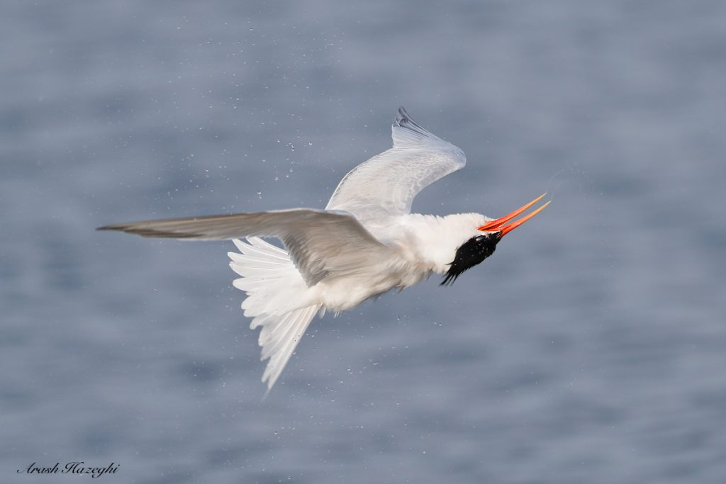 Elegant tern in a roll after an unsuccessful dive. EOS 1DX Mark II, EF 400 f/4 DO IS II + Extender 1.4X III. ISO 1000. f/5.6 at 1/3200sc. Hand held. click on the image to see the details.
