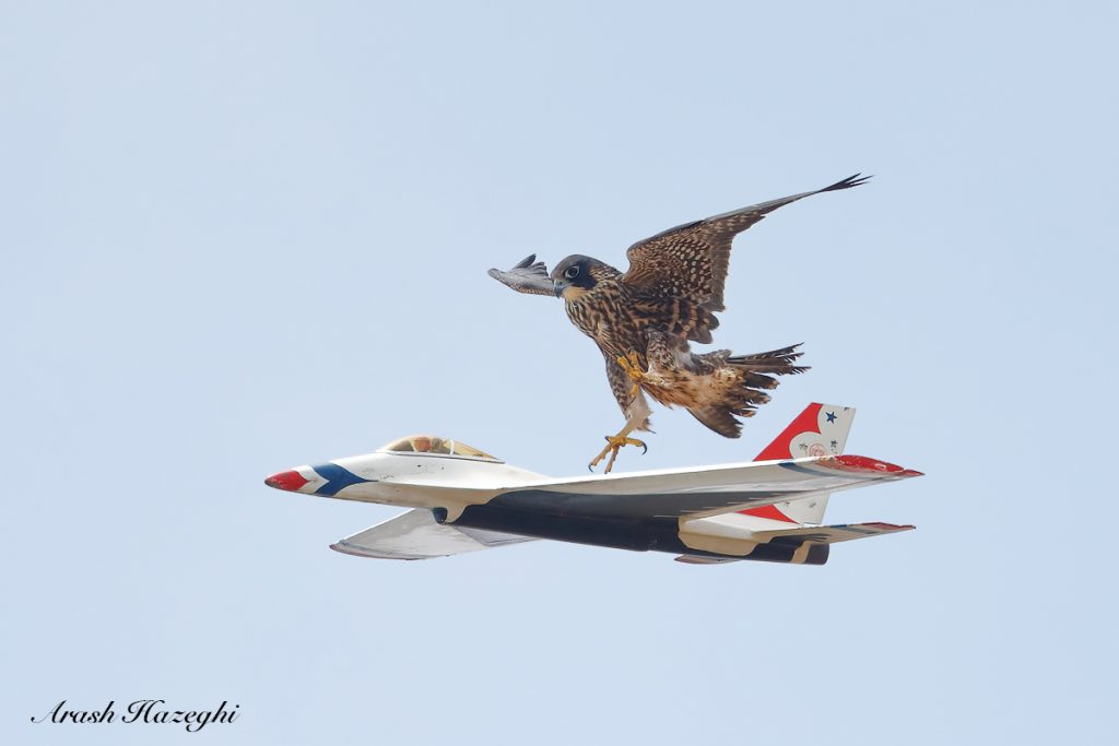 Juvenile falcon trying to attack an RC jet. The small RC jet was quite agile but the falcon could keep up. EOS 1DX Mark II, EF 400 f/4 DO IS II + Extender 1.4X III. ISO 1000. f/5.6 at 1/3200 sec. Hand held.