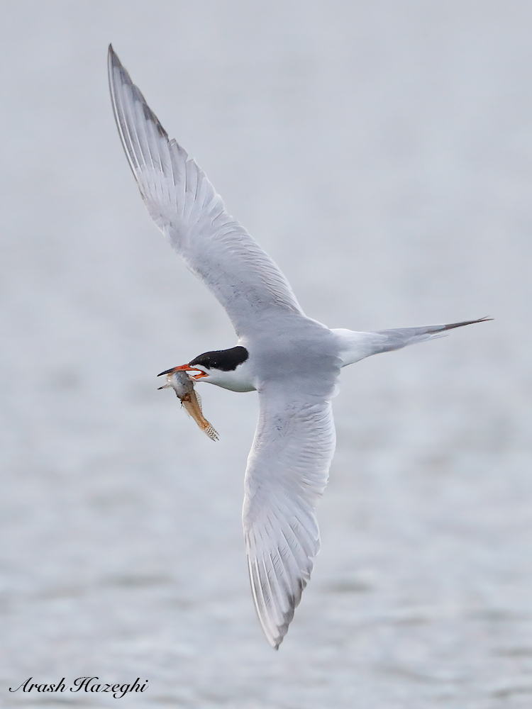 Forster's tern with fish. EOS 1D X Mark II. EF 400 f/4 DO IS II + EF Extender 2X III, ISO 10,000. F/8 at 1/1500sec. Hand held.