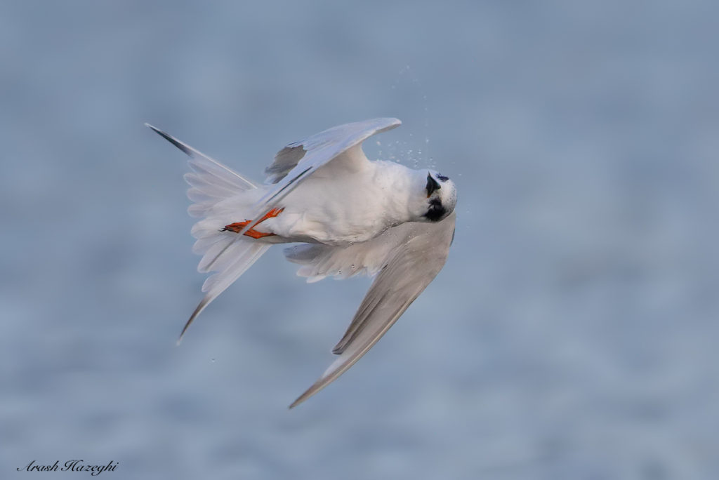 Juvenile Forster's Tern in a barrel roll. EOS-5D Mark IV, EF 400mm f/4 DO IS II + Extender 2X III. ISO 2500. f/8 at 1/3200sec. Hand held. processed with DPP 4.4. Click on the image to see larger.
