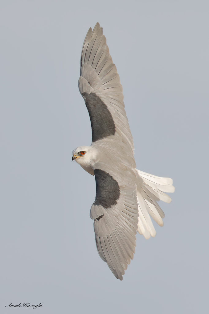 Adult White-tailed Kite. EOS-5D Mark IV, EF 600mm f/4 IS II + Extender EF 1.4X III. ISO 800. F/5.6 at 1/3200 sec, hand held. click on the image to see a high-definitation file (require large monitor).