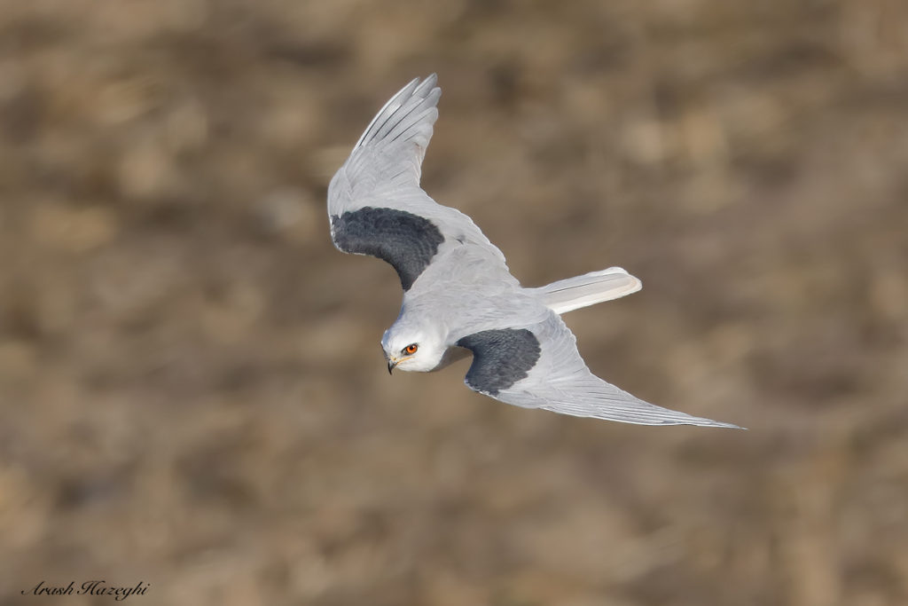 Adult White-tailed kite. EOS-5D Mark IV. EF 600mm f/4 IS II + EF Extender 1.4X III. ISO 800. f/5.6 at 1/3200 sec. hand held. processed with DPP 4.4. Click on the image to see larger.