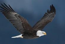 bald eagle against dark