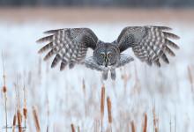 Great Gray Owls of Ottawa