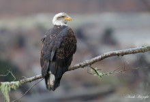Bald eagles and first impressions on the 7D2 + 100-400 L II