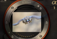 Sony Alpha-1 field review for avian photography